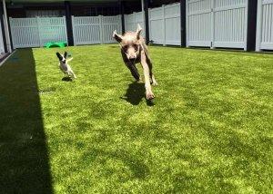 Two Dogs Having Fun Running Around